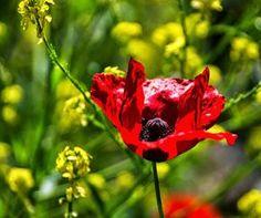 Tutto cominciò...: Le virtù emollientiIl del papavero dei campi o ros...