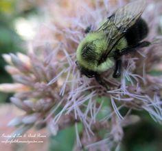 Bee on Joe Pye Weed  (Garden of Len & Barb Rosen) www.facebook.com/OurFairfieldHomeAndGarden