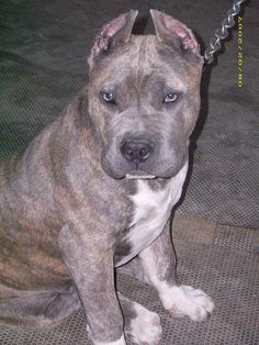 A Blue brindle Pit bull | Flickr - Photo Sharing!...Love the eyes on this pup!