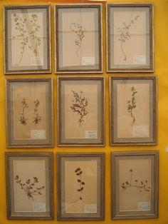 herbarium specimens for the artimisia museum hallway