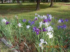 More Dutch irises.