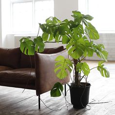 Monstera indoor plant in black pot, pale grey limewashed timber floorboards, brown leather sofa with wooden legs