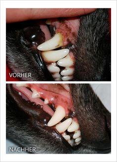 Zahnpflege beim Hund | Silken Windsprite - GoldenMerlo.de