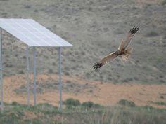 Gifs animados de aves en vuelo en la laguna artificial de La Guardia (Toledo) en el paraje de La Laguna