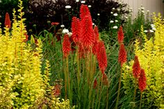 Kniphofia Red Hot Popsicle for full sun, well-drained perennial gardens