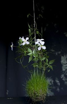 a white clematis, one of the suspended creations of Fedor Van der Valk, the Dutch king of contemporary kokedama