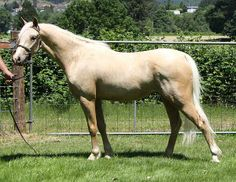 Palomino Section B Welsh Pony - Clanfair Good As Gold