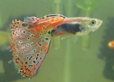 What Do Guppies Eat? How Much and How Often?