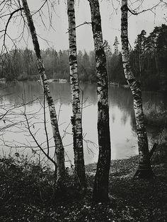 Birchwood  Birch Trees, Austria [2011]  Photographed by Yves Roy