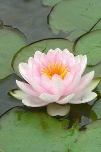 10 LIGHT PINK LOTUS Water Lily Pad Nymphaea Sp Pond Flower Seeds *Comb S/H by Seedville. $2.00. LIGHT REQUIREMENTS: Sun - Part Shade   . . .  SOIL / WATER:  Pond / Aquatic. BLOOMS: Late Spring - Early Summer. HARDINESS ZONE:  4 - 10 (and can be grown as an annual in zones 2 & 3). The Lotus is surprisingly easy to grow! If you do not have a pond, you can grow them in tubs or barrels filled with half soil and half water. Lotus flowers are edible and are used as ...
