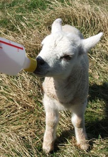 i got to bottle-feed a lamb once. i want to again.
