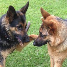 Play nice now! Featured Account @skyla_the_shepherd  #Gsd #gsdsofigworld #gsd #gsdsofig #instagram #instadaily #instadog #dogsofinstagram #dog #germanshepherd #mystick by gsdsofigworld