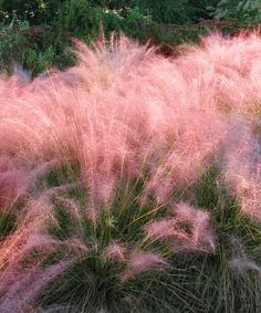 Muhly Grass, Pink