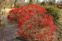 Ilex 'Red Sprite': A dwarf, 3-foot-tall native shrub with tons of bright red berries in autumn and winter!