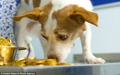 Molly the Jack Russell has life saved by vets after gorging on potentially lethal chocolate