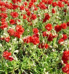 Devätorník hybridný ´AMABILE PLENUM´ Flowers, Plants, Red, Recherche Google, Gardens, Plant, Royal Icing Flowers, Flower, Florals