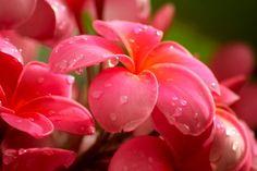 Plumerias...one of my fav flowers!!