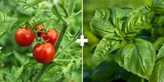 Companion Planting: Tomatoes + Basil or Cilantro (Some believe basil improves flavor of tomatoes, its strong scent  repels pests. Let some basil or cilantro flower, it brings pollinators.)