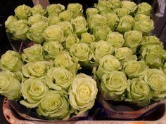 #Rose # Rosa # Green Gene Available at www.barendsen.nl