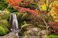 Japanese Tea Garden in Golden Gate Park, San Francisco, California, Japanese Maple tree in fall color with waterfall on hill and moss covered rocks.