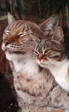 Linda the lynx and Dusja the calico cat are best friends at the St. Petersburg Zoo in Russia • photo: St. Petersburg Zoo