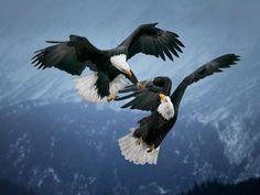Más imágenes espectaculares de animales en libertad en http://www.muyinteresante.es/naturaleza/fotos/animales-en-estado-salvaje/aguila-calva