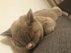 British Shorthair, Cats, Animals, Gatos, Animales, Animaux, Animal, Cat, Animais