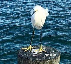 A little friend at Anna Maria City Pier  amihouserental.com  #annamariaisland #citypier #islandlife #saltlife #birdsofinstagram #blueturtlecottage