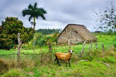 Riding through endless fields of green tobacco and fertile red soil in Viñales, we passed local farmers harvesting the leaves that would become Cuba's world famous cigars.…