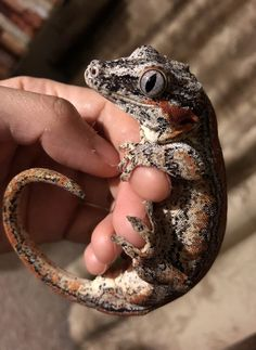 Juvenile Gargoyle Gecko - My list of the most beautiful animals Cute Reptiles, Reptiles And Amphibians, Mammals, Cute Baby Animals, Animals And Pets, Beautiful Creatures, Animals Beautiful, Reptile Room, Reptile Cage
