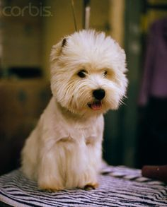 West Highland White Terrier at Westminster Dog Show Skye Terrier, Terriers, Westminster Dog Show, Cutest Dog Ever, Pet Dogs, Pets, West Highland White, White Terrier, White Dogs