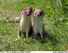 Stoat | the stoat kids are nursed by the mother stoat until they are just over ...
