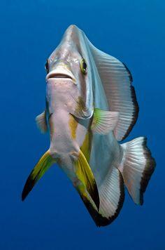 Longfin Batfish (Platax teira) by tbanny A Longfin Batfish Platax teira in the Red sea Egypt
