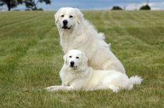 looks like my dogs Tom and Jerry only cleaner! Maremma Sheepdog, Top Dog Breeds, Great Pyrenees Dog, Dog Rules, Dog Barking, Mountain Dogs, Working Dogs, Dogs And Puppies, Doggies