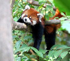 Sleeping Red Panda by Chi Liu, via Flickr