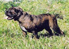 Buldogue Campeiro| Dogue Brasileiro - Dog Times - Raças Brasileiras