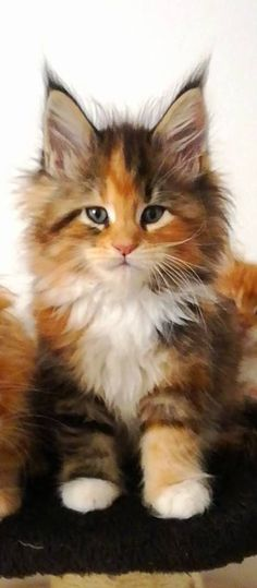 When it comes to Maine Coon Vs Norwegian Forest Cat both can make good pets but have some traits and characteristics that are different from each other Kittens And Puppies, Cute Cats And Kittens, Cool Cats, Kittens Cutest, Pretty Cats, Beautiful Cats, Animals Beautiful, Cute Animals, Beautiful Pictures
