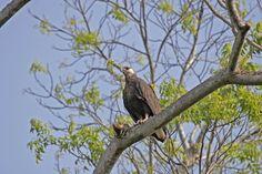 Madagascan fish-eagle
