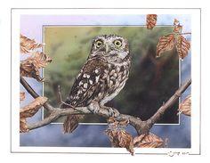 Little Owl. Little Owl (Athene noctua)