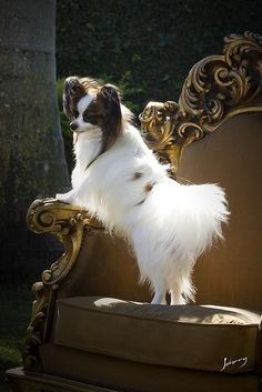 Papillon | by Johnny Fotoanimal