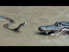 "Python vs Alligator  01 -- Real Fight -- Python attacks Alligator                                                Subscribe    Subscribed    Unsubscribe                 472 videos                                         Loading...                                                          if (window.yt.timing) {yt.timing.tick(""bf"");}"