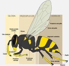 anatomy of a bee sting – Anatomy facts Yellow Jacket Bee, Yellow Jackets, Getting Rid Of Bees, Wasp Stings, Face Anatomy, Bee Sting, Insect Art, Home Schooling, Science Lessons