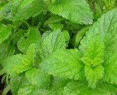 Plantas Medicinais para Cultivar em Casa 7