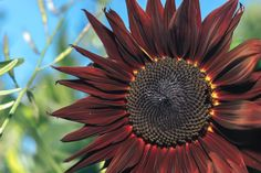 Have you ever seen or heard of a Red Sun Sunflower?!? . A Red Sun is a branching variety of Sunflower, which produces vibrant red petals, accented with a dark, rich, brown center. . Shop AVAS FLOWERS Thanksgiving Sale and... Save *Up to 45% OFF + FREE LOCAL DELIVERY . XO, AVAS FLOWERS