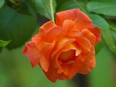 How to Care for a Joseph's Coat Climbing Rose Joseph's Coat climbing rose grows up to 10 feet tall and produces large orange, pink, red and white flowers. Joseph's Coat blooms during late spring, summer and early fall. Peony Care, Rose Care, Red And White Flowers, Orange Roses, Orange Pink, Transplanting Roses, Frozen Rose, Types Of Roses, Perennials