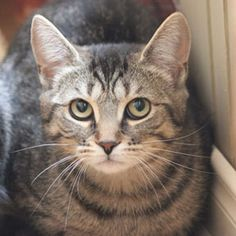 Adoptez /Adopt 3317 - Patsy (Femelle, née approx. le 18 juillet 2014 / Female, born approx. July 18, 2014) #Adoptable #Cat #Chat #Montreal #Verdunluv http://www.refugechatsverdun.com/chats_a_adopter.html#3317