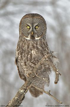 ~~Great Grey Owl by Nature's Photo Adventures - David G Hemmings~~