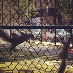 Squirrels playing at the school soccer field down the block.