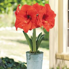 Orange Sovereign Amaryllis:  This burnt-umber beauty boasts 8-inch blooms that are simply breathtaking on sturdy 20-inch plants. Expect multiple flowers from every stem, long-lasting and SO eye-catching! -- This product is no longer available, however click the image to see this year's Bulb Garden Gift Plants!