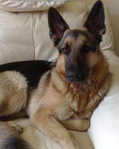 Black and Tan GSD | large black and tan german shepherd ...